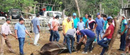 Un experto municipal de Chone demuestra cómo practicar cuidados veterinarios en vacunos. Manabí, Ecuador.