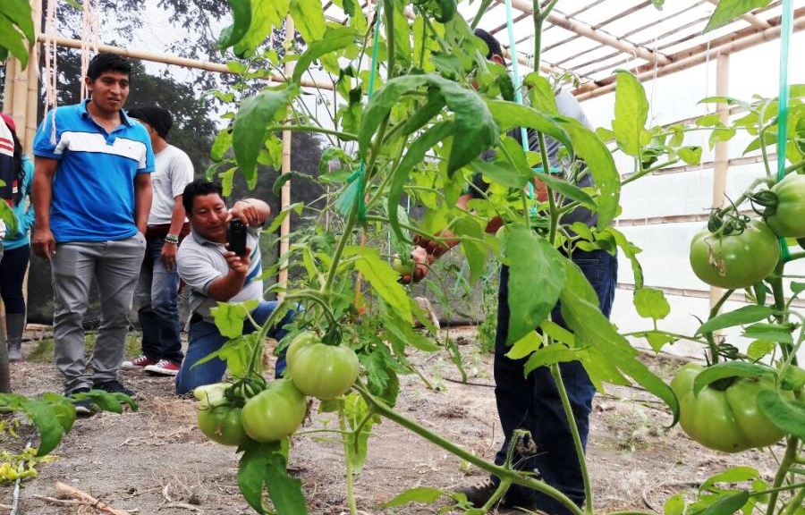 Cultivo de tomate riñón en Jipijapa, Manabí.
