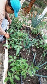Cultivos de tomate riñón y cebolla verde o cebollín.