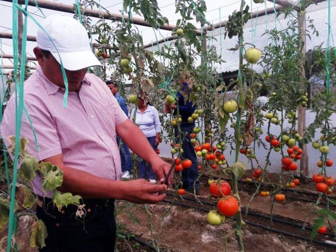Maduración de tomates en un huerto urbano.