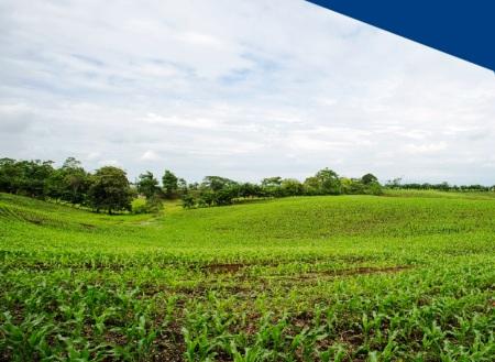Cultivo de maíz en la región litoral ecuatoriana.
