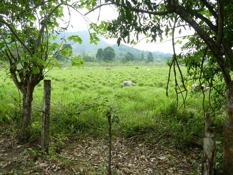 Parte del ganado, alimentándose en el potrero.