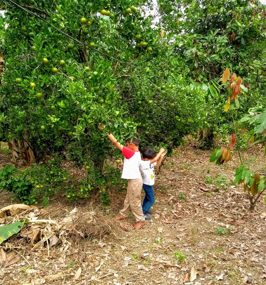 Árboles de mandarinas y cacao dentro de la hacienda. Los niños que posan son Renatito Palma y Tomasito Risco.
